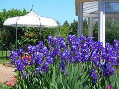 fleurs d'iris près de la véranda dans le jardin