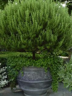 How beautiful is this Rosemary plant!!