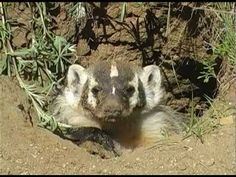 Wyoming Badgers. Not the greatest Wyo. animal to deal with. I can remember running horses merrily across the prairies and dodging badger holes left and right.