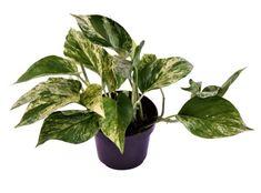 Scindapsus aureus 'Marble Queen' – Urban Plant Life Ficus Elastica, Calathea, Hanging Pots, Foliage Plants, Queen, Compost, Bonsai, Indoor Plants, Marble