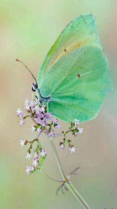 Iridescent Green Butterfly With Soft Lavender Flower