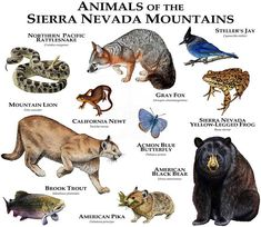 Animals of the Sierra Nevada Mountains Tee American Black Bear, American Animals, Animals Of The World, Animals And Pets, Animal Dictionary, Animal Plates, West Coast Road Trip, Animal Facts, Mundo Animal