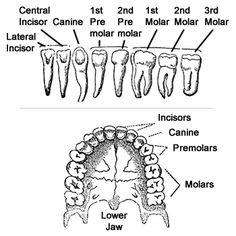 human teeth names - Saferbrowser Yahoo Image Search Results Human Digestive System, Human Teeth, Anatomy, Tooth, Image Search, Names, Teeth, Anatomy Reference, Dental