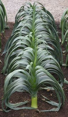 Rows of leeks--Contemporary veggie garden Homestead Gardens, Farm Gardens, Permaculture, Landscape Design, Garden Design, Pruning Fruit Trees, Summer House Garden, Small Farm, My Secret Garden