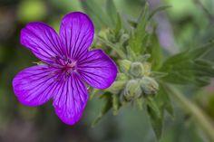 Geranium Pratense, Garden Plants, Montana, Planting Flowers, National Parks, Landscape, Farmers, Outdoor, Geraniums