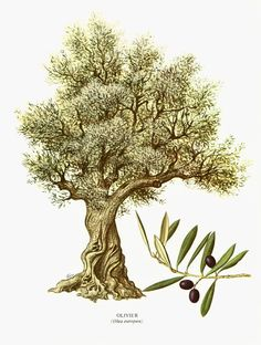 1967 Olivier. Olea europaea. Arbre. Olive. Planche Botanique. Cuisine Decor mural.