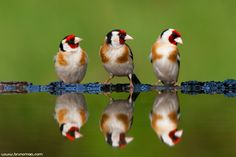 https://flic.kr/p/bu9FAT | Pintassilgo | European Goldfinch (Carduelis carduelis) | www.brunomaia.com