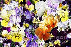 Pansy Posy Canvas Print by Erica Hanel. All canvas prints are professionally printed, assembled, and shipped within 3 - 4 business days and delivered ready-to-hang on your wall. Choose from multiple print sizes, border colors, and canvas materials. Canvas Art, Canvas Prints, Got Print, Hanging Wire, Canvas Material, Prints For Sale, Pansies, Fine Art America, Art Decor