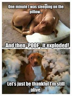 Pillows...can't trust 'em. #dog #humor
