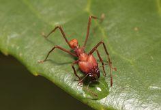 Enciclopedia animal | Animales de la selva - Hormiga cortadora de hojas.