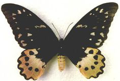 Schoenbergia (Ornithoptera) chimaera chimaera - female with smooth body - 23kB