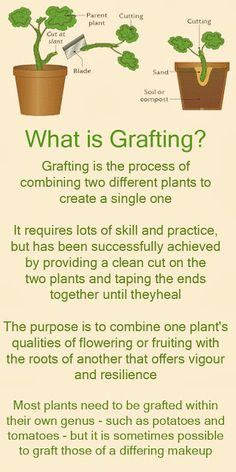 What is #grafting? Joining 2 compatible plant parts, usually #scion (branch) and #rootstock. It is useful for creating dwarf fruit trees, growing on disease resistant or hardier rootstock, or on roots better adapted to your soil conditions.