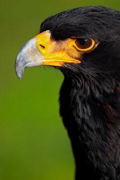black eagle  (photo by mario moreno)