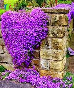 100/Rock Cress,Aubrieta Cascade Purple FLOWER SEEDS, Deer Resistant Superb perennial ground cover,flower seeds for home…