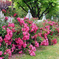 Flower Carpet Roses - Flower Carpet PINK - Anthony Tesselaar International
