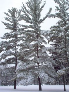 Mount Pleasant, MI : Snow covered pine trees on the campus of Central Michigan University.