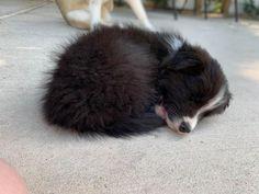 Greymane, we call him Grey. Border Collie Puppies, Collie Dog, Cute Puppies, Cute Dogs, Dogs And Puppies, Cute Little Animals, Baby Animals, Border Collie Pictures, Pupper Doggo