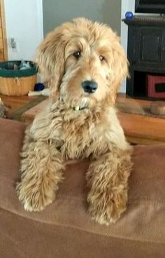 Fun Facts About Your Golden Retriever Puppies And Kitties, Cute Puppies, Pet Dogs, Dog Cat, Goldendoodle Grooming, Dog Grooming, Goldendoodle Haircuts, Mini Goldendoodle, Dog Clippers