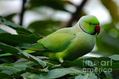 Rose ringed parakeet in thought