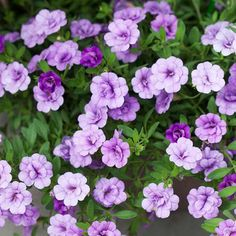 It's hard to take your eyes off these double, ruffled calibrachoa flowers. How cute would this look in a hanging basket?