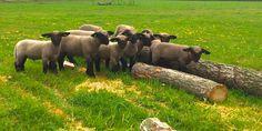 Omdat ze zo mooi zijn! I Cant Sleep, Hampshire, Sheep, Elephant, Cute, Animals, Can't Sleep, Animales, Hampshire Pig