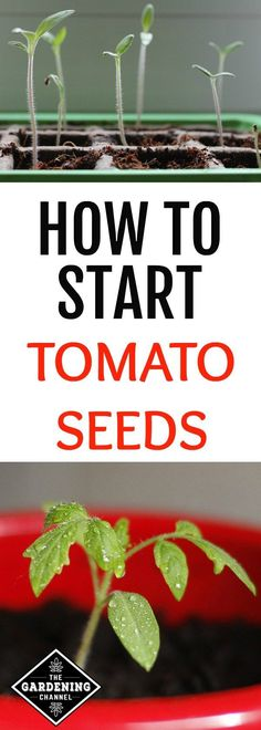 Grow Tomatoes From Seed Follow this guide to learn how to save money by starting tomato seeds indoors for planting. Learn how to grow tomatoes from seeds instead of buying tomato transplants.