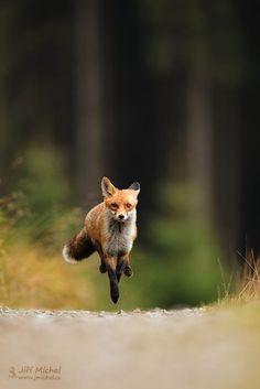 Beautiful Fox Run Photos and Images – Hunderasse – … Beautiful Fox Run Fotos und Bilder – Hunderasse – Nature Animals, Baby Animals, Cute Animals, Wild Animals, Fox Running, Fox Collection, Fantastic Fox, Foxes Photography, Nikon Photography