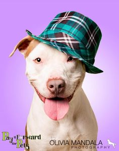 Meet Ivan, a Petfinder adoptable Terrier Dog | Akron, OH | Gosh we love our Pits!!! Meet Ivan ...If anyone knows this so-called breed, they know these dogs...