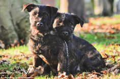 A Tiny Terrier Quietly Got A Huge Rottweiler Pregnant. Check Out Their Puppies. - BiteCharge