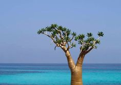 Socotra Archipelago, in the northwest Indian Ocean near the Gulf of Aden, is 250 km long and comprises four islands and two rocky islets which appear as a prolongation of the Horn of Africa. The site is of universal importance because of its biodiversity with rich and distinct flora and fauna: 37% of Socotra's 825 plant species, 90% of its reptile species and 95% of its land snail species do not occur anywhere else in the world.