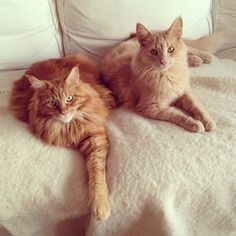 These two just rented your favorite movie and are waiting for you to join them on the couch. | The Secret Thoughts Of 27 Maine Coon Cats