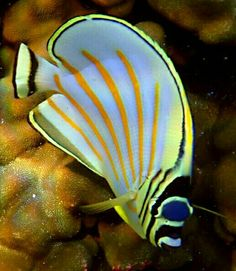 BUTTERFLYFISH...a tropical marine fish....approximately 129 species found mostly on the reefs of the Atlantic, Indian, and Pacific Oceans....looks like a smaller version of an angelfish