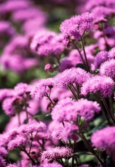 PINK AGERATUM - Getting married in March? See our seasonal flowers board for a full list of flowers that are available for florists to buy in March for a Spring wedding. Whether you are planning a romantic, wild and natural bouquet or bright and vibrant table centrepieces - our month by month boards cover every possibility for every month be it Winter, Autumn or Summer! xx