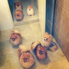 :) I want this many Poms.