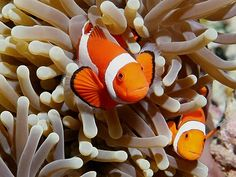 Clownfish - In and out... innnn and out.
