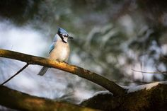 Blue Jay Photo by Everet Regal — National Geographic Your Shot