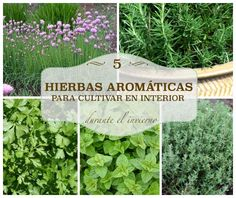 El cultivo de interior de algunas de las hierbas aromáticas más populares, cebollino, romero, perejil, orégano y tomillo.