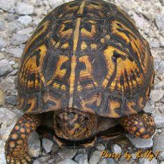 Box turtle Photos by KellyT Kinds Of Turtles, Land Turtles, Baby Sea Turtles, Box Turtles, Tortoise Habitat, Tortoise Care, Tortoise Turtle, Turtle Spirit Animal, Eastern Box Turtle
