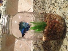 Betta fish in a mason jar-- I used a half gallon jar, but a quart would work, too. Just poke holes in the lid for air, or leave the middle out completely.
