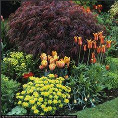 Striking blend of orange tulips & Ballerina (lily-flowered) by Acer palmatum 'Dissectum Atropurpureum'. Trees And Shrubs, Trees To Plant, Sun Loving Plants, Garden Yard Ideas, Backyard Landscaping, Backyard Retreat, Garden Pictures, Garden Borders, Gardens