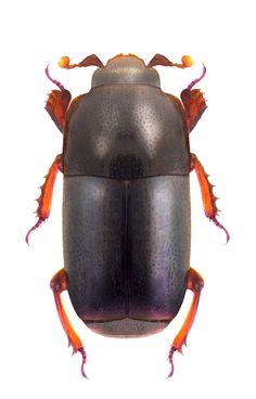 Teretrius fabricii  (Histeridae)