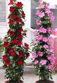 Shop Sundaville Red Plants at J Parker's. Known as Mandevilla 'Bloom Bells' or Dipladenia they will flower through summer. Buy top quality plants online now. Patio Plants, Outdoor Plants, Potted Plants, Red Plants, Exotic Plants, Beautiful Gardens, Beautiful Flowers, Gemüseanbau In Kübeln, Vertical Garden Design