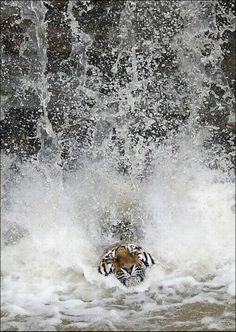 Tiger Dives from Waterfall.