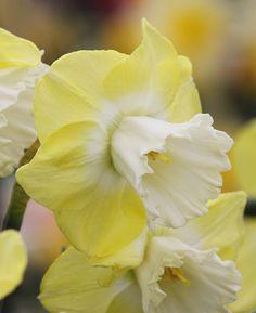 Daffodil 'Snow Frills'