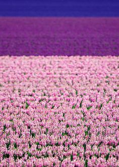 """Dutch flower fields: The endless flower fields in my home village Limmen - North Holland,"" by A - Photography, via Flickr"