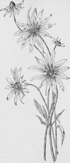 vintage flower clipart black and white clip art aster