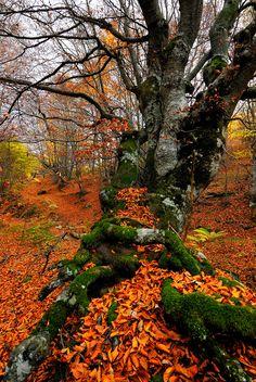 Beautiful Beech Tree
