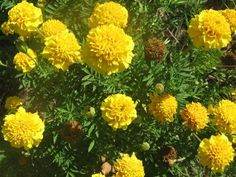 Flower Marigold Lemon Drop D01114 (Yellow) 25 Seeds by David's Garden Seeds David's Garden Seeds http://www.amazon.com/dp/B00NPBUU9W/ref=cm_sw_r_pi_dp_Zc-xub0W9XBV4