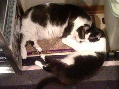 Dominoes and Chuckles loving the catnip on the scratchpad.