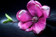 Znalezione obrazy dla zapytania kwiaty magnolii